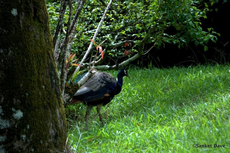 Peacock at the Kahanu Garden